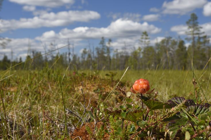Closeup of a Cloud berry on a morass , picture from the Northern Sweden.