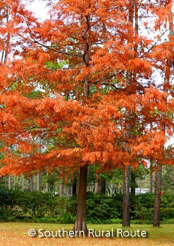 "Bald Cypress (Taxodium distichum) trees got the ""bald"" designation to distinguish them from evergreen cypress trees in other parts of the world. The bark of the tree trunk is brown to reddish in co..."