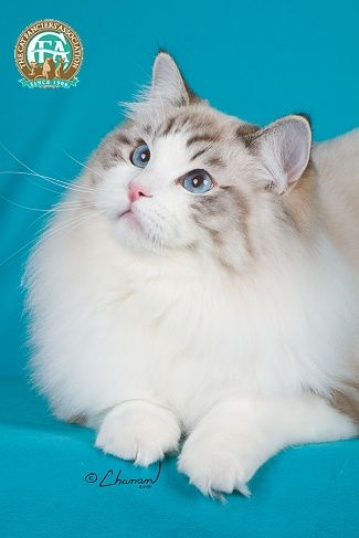 One of the friendliest, most docile and prettiest cats -- Ragdolls :)