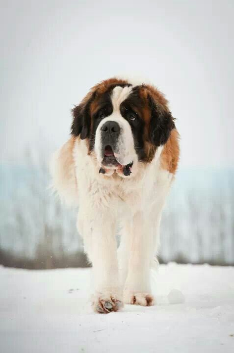 St. Bernard - a breed of very large working dog from Swiss Alps, originally bred for rescue. The breed has become famous through tales of alpine rescues, as well as for its enormous size. The calm, easygoing Saint Bernard is gentle and patient around children, although he is not particularly playful. He is devoted to his family and is willing to please, although at his own pace. He enjoys cold weather and does not do well in heat. All Saints drool.