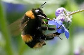 Image result for bumble bees
