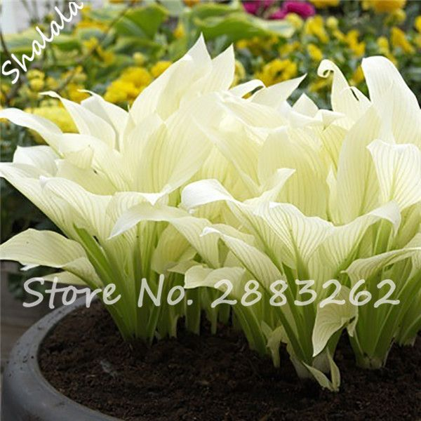 20pcs Hosta Plantaginea Seeds Fragrant Plantain Flower Fire And Ice Shade White Lace Bonsai Home Garden Ground Cover Plant Seed