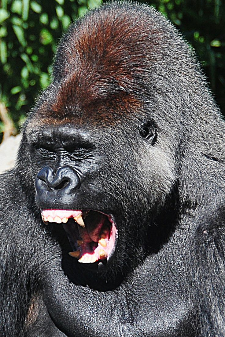 What does gorilla penis look like