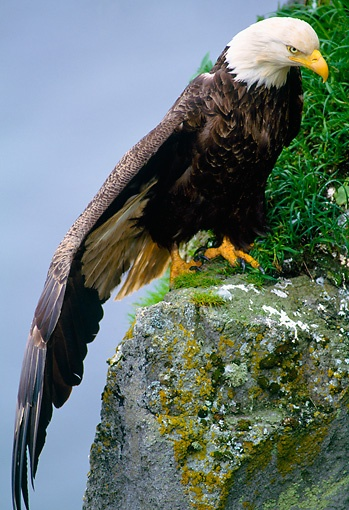Bald Eagle Perching on Cliff
