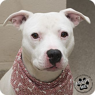 Urgent! I am at a high kill shelter in Troy, OH - Pit Bull Terrier Mix. Meet Buddy, a dog for adoption. http://www.adoptapet.com/pet/17116592-troy-ohio-pit-bull-terrier-mix