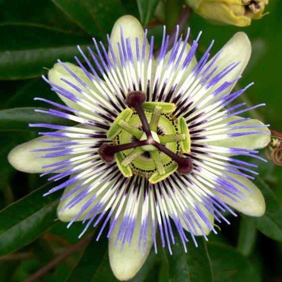 10 Blue Crown Passion Flower Passion Fruit Passiflora Etsy In 2020 Passion Fruit Flower Passiflora Passion Vine
