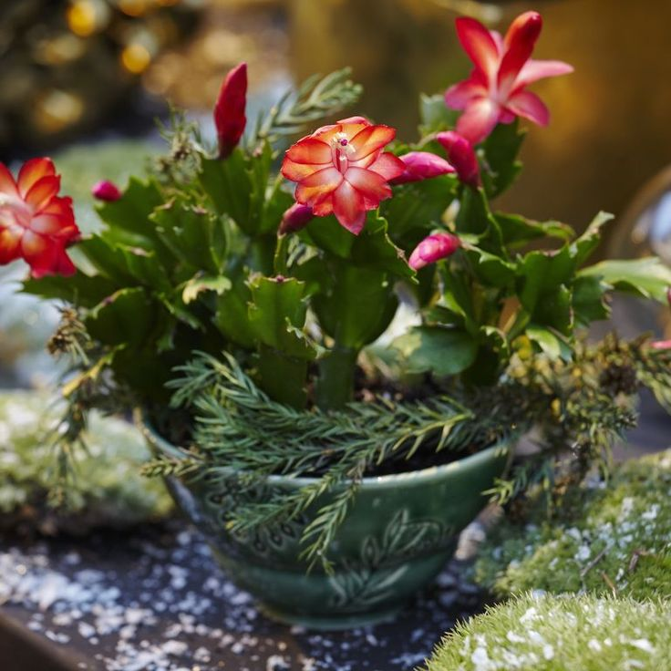 The Key to Getting Your Christmas Cactus to Bloom Is