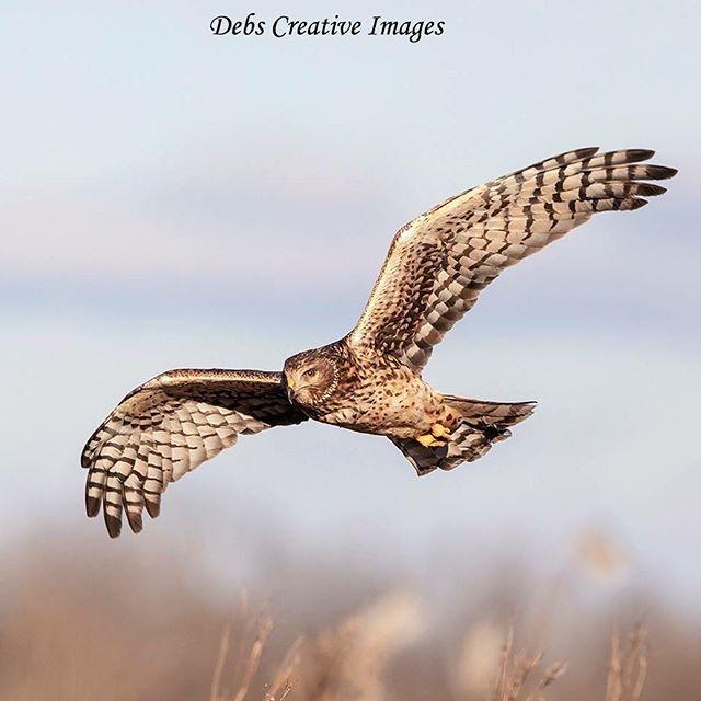Northern Harrier 2 21 19 El Cajon Ca Animal Photography Wildlife Photography Animals