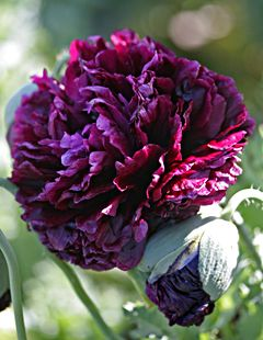Outrageous Poppies! Papaver Black Peony