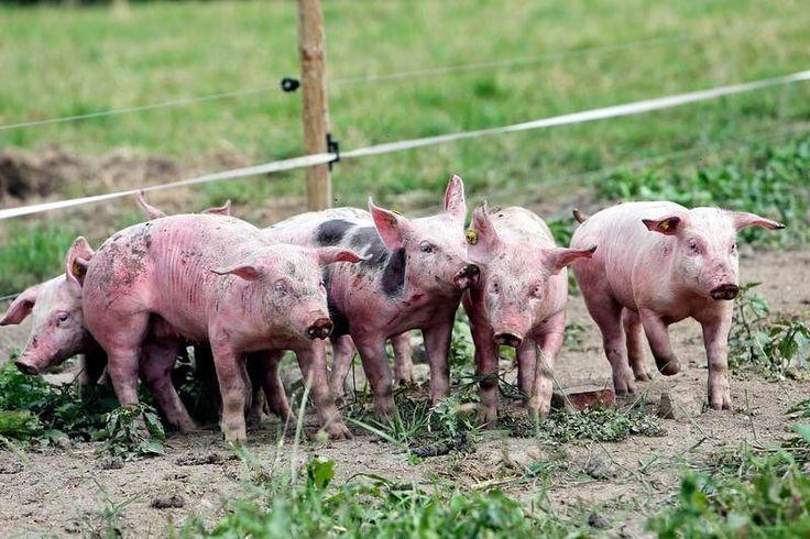 La ferme de Lignieres et sa propriétaire Nathalie Lévêque produisent des porcs vaches veaux oies... Photo Sami Belloumi #ferme #lavoixdunord #porc