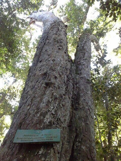 Garden of Eden -a Big Yellowwood Tree - Knysna  South Africa