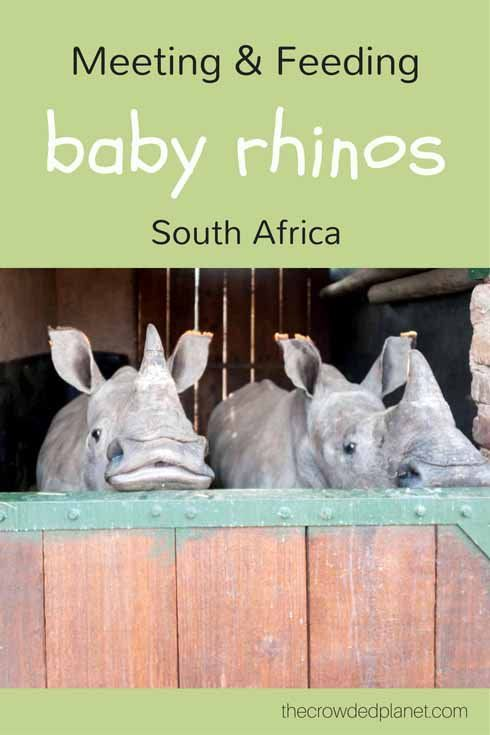 Feed baby rhinos and visit the world's largest rhino sanctuary and orphanage in South Africa, near Kruger National Park, and learn how to volunteer with rhinos!