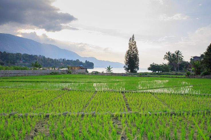 Paddy field of rice in Sumatra #sumatra #sumatera #indonesia #indo #indonesien #indonesiaparadise #tuktuksumaterautara #sumatraautara #dslrphotography #dslr #canon #photography #photooftheday #photo #picoftheday #pictureoftheday #austrianphotographer #austrianphotographers #austrianart #kunsttirol