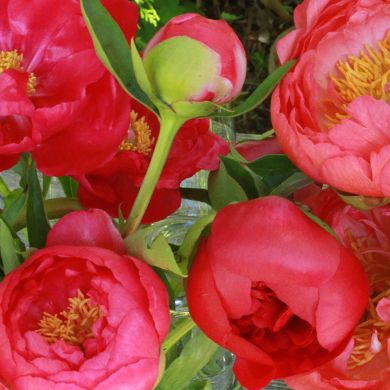 Spring 2014 Peony Catalog | Herbaceous Peonies, Intersectional Peonies & Tree Peonies for Sale