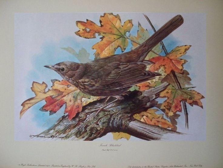 Female Blackbird Vintage 1978 bird poster print - Basil Ede 29cm x 38cm