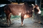 DWARF COW Vechur Dwarf cow es originaria de la India.  Tienen una muy buena adaptabilidad y resistencia a enfermedades.  Valoradas por la gran cantidad de leche que producen relativamente a su alimentación.  Es la raza de menor tamaño del mundo, miden alrededor de 87 cm y pesan 123 kg.