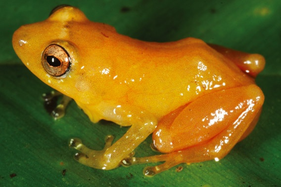 Diasporus citrinobapheus is a new species of frog discovered in Panama. Photo by: Andreas Hertz.