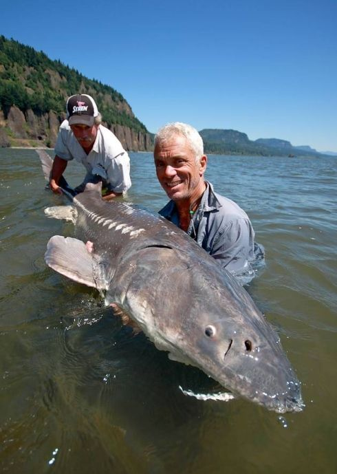 OLD MAN OF THE SEA: The white sturgeon, the largest and most primitive freshwater fish in North America, has been around for more than 100 million years. The biggest on record was more than 20 feet long and weighed almost 1,800 pounds. They feed mainly on smaller fish. Pictures: Icon Films, Bristol