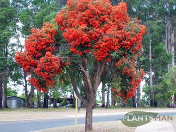 WA Red Flowering Gum - Corymbia ficifolia  8m tall, plant 6m from sewerage