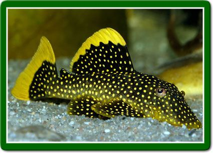 Fancy Pleco. Fine spotted with yellow seem.