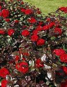 Viherpeukalot-ruusu 2008