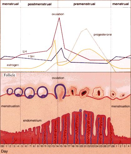 menstrual cycle 101 A luteal phase is one of the three phases of the menstrual cycle that is necessary for reproduction.
