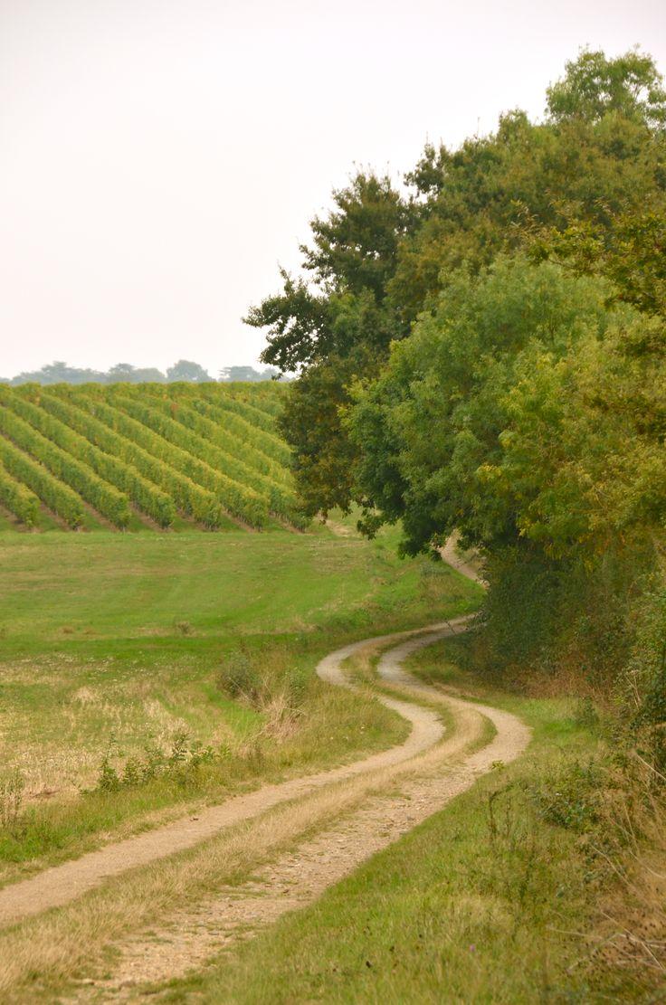 Vignes à Brissac (10 km d'Angers (Photo Stéphane Morin)