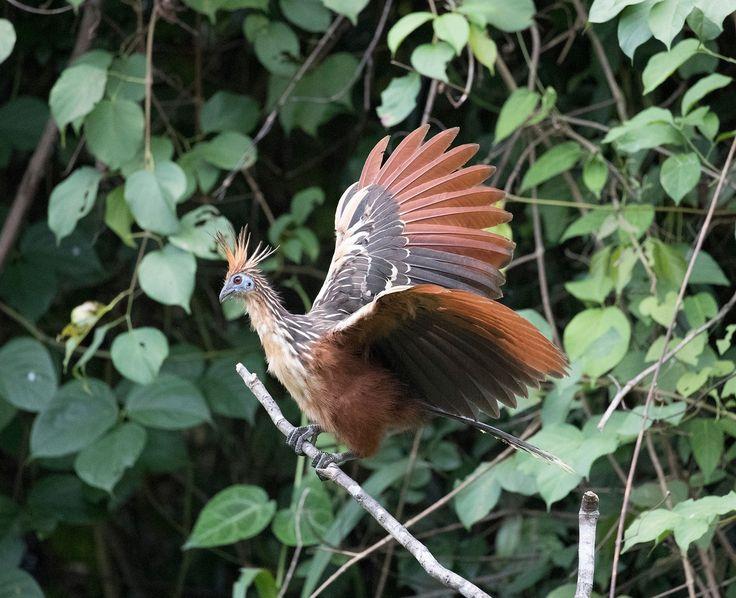 Hoatzin - Hoatzin in Manu National Park.