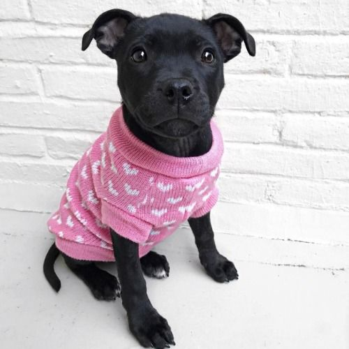 Favd Instagram Staffordshire Bull Terrier Puppies Cute Animals I Love Dogs