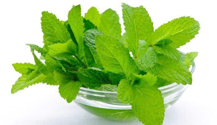 طريقة زراعة النعناع في المنزل والحقل وأهم فوائده Mint Benefits Vitiligo Cure Herbs