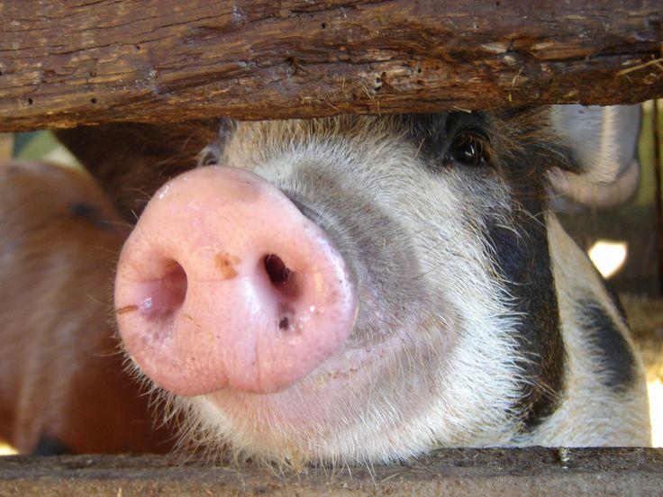 Rain Hayne & Shine Farmyard, Pig