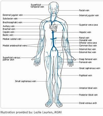 68 best anatomy and physiology images on pinterest human body nurses and nursing schools. Black Bedroom Furniture Sets. Home Design Ideas