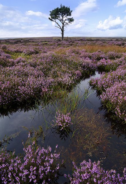 Another lonely tree on the moors - North York Moors, Yorkshire