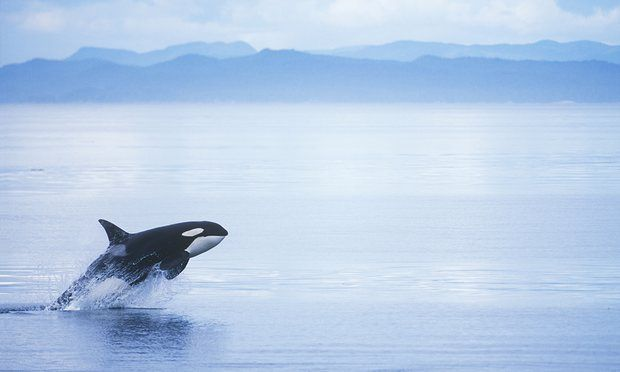 POLL: Should this Canadian pipeline project be scrapped to save killer whales? by Supertrooper http://focusingonwildlife.com/news/poll-should-this-canadian-pipeline-project-be-scrapped-to-save-killer-whales/