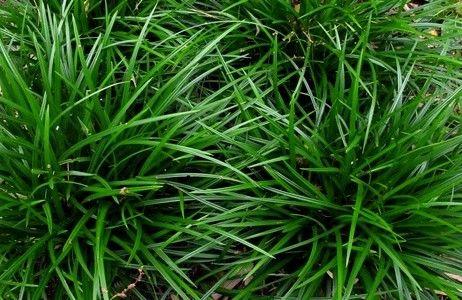 Carex foliosissima 'Irish Green' (Zegge), onopvallend, groen smal blad, mooi wintergroen, geschikt voor kleinere en grotere plantvakken
