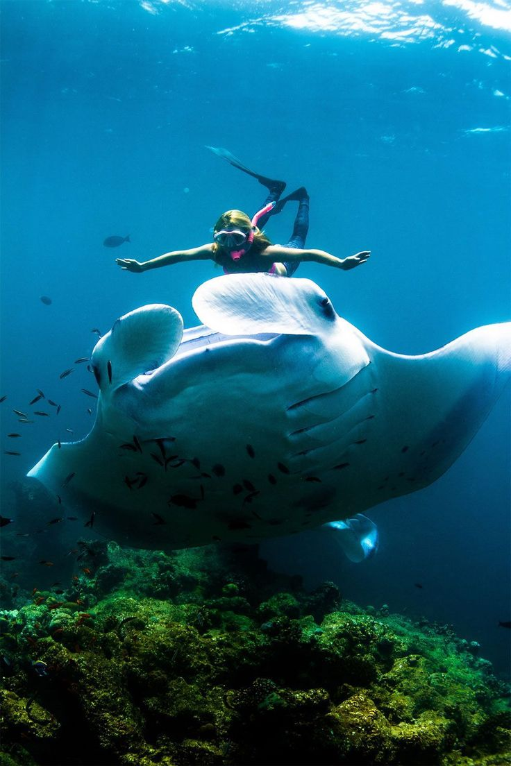 Manta ray swimming underwater with its dorsal fins spread open viewed - Adventurer Swims With Giant Manta Rays At Night