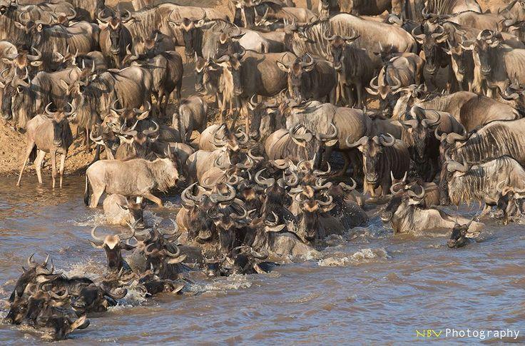 Wilder Beast - River Crossing! #africa #wildlife #photography #masaimara #mara #wilderbeast #rivercrossing #nikon
