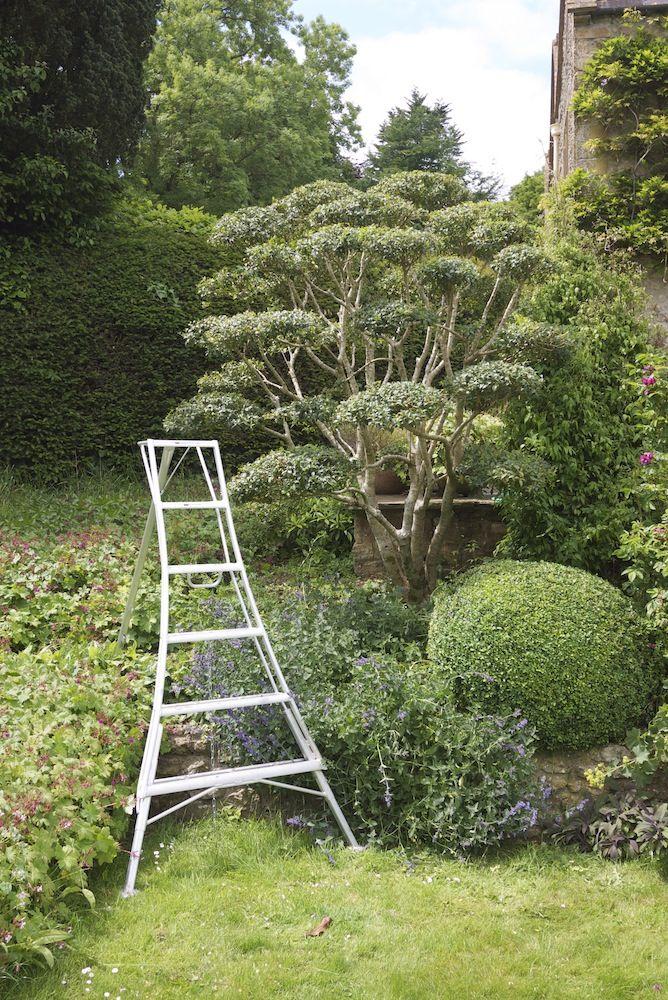 jake hobson   cloud pruning  u0026 organic topiary   osmanthus burkwoodii