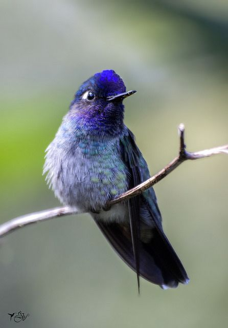 Male Violet-headed Hummingbird (Klais guimeti) S. Cent.America & N. South America
