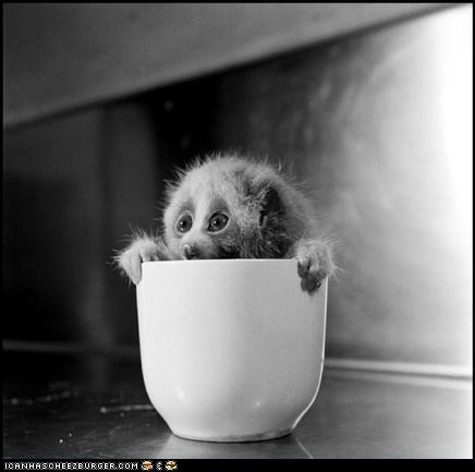 Cup of Loris, with an apprehensive air.: Animals, Cups, Creatures, Adorable, Baby, Smile, Burt Lucid, Slow Loris