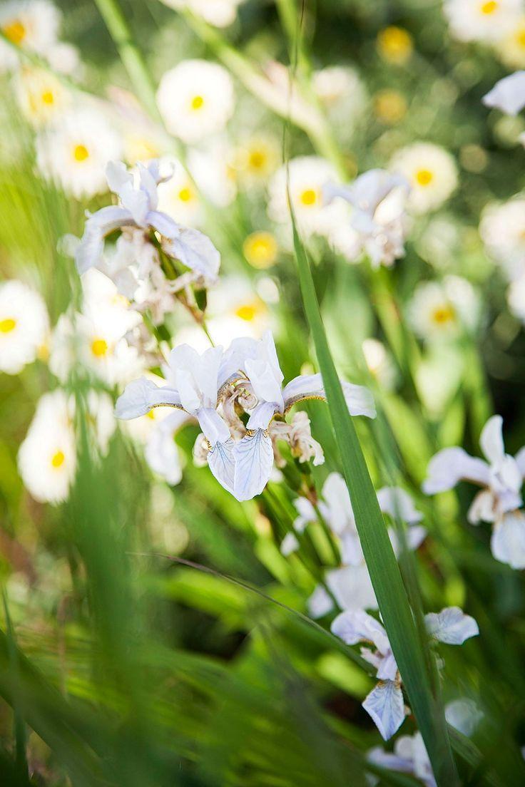 Den vita irisen räddade Lina från ett dike. Trädgården består, förutom den hemliga, av flera olika rum. Ett ligger i skydd av planket mot den enda grannen och i år blommar nästan allt på en gång: gammaldags irisar i lila och gult, aklejor, vild kardvädd, en tvåårig tistel som kan bli upp till två och en halv meter hög, orientalisk vallmo, skuggviolruta, Thalictrum, aprikosfärgad digitalis och mycket, mycket annat.