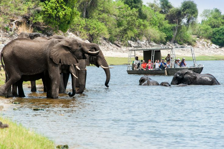 Game cruise on the banks of the Chobe National Park, home to the largest concentration of African elephant in the world    #AfricanSafari #Safari #Holiday #Botswana #ChobeRiver