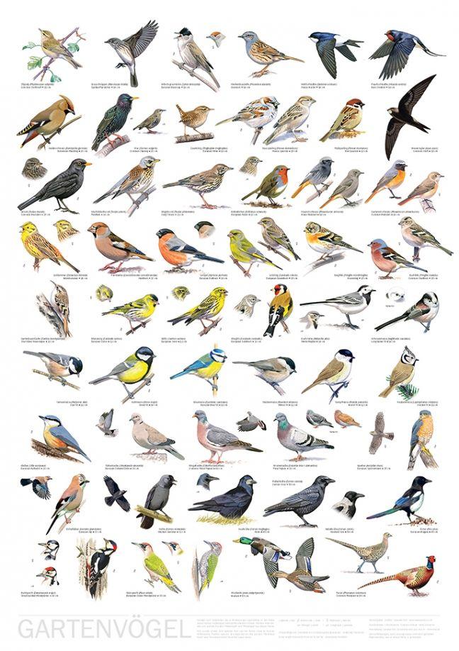 Poster Gartenvogel Garden Birds Vogel Im Garten Vogel Als Haustiere Vogelkunde