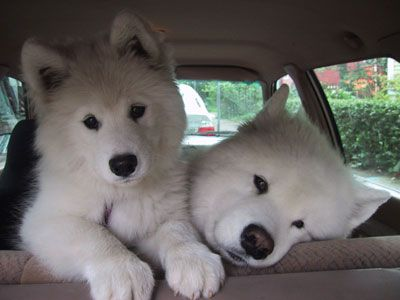 Reminds me of my Samoyed Seiko. What a wonderful dog she was.