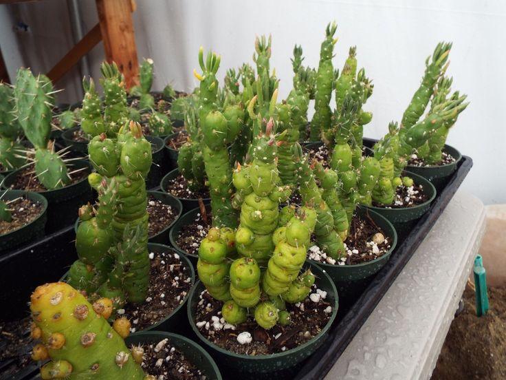 25+ Best Ideas About Cactus Plants For Sale On Pinterest