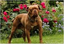 dorset old tyme bulldogge.