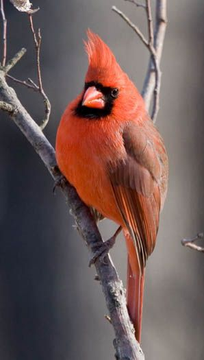 Cardinal also known as cardinal-grosbeaks and cardinal-buntings.(Cardinalidae). Found in North and South America.