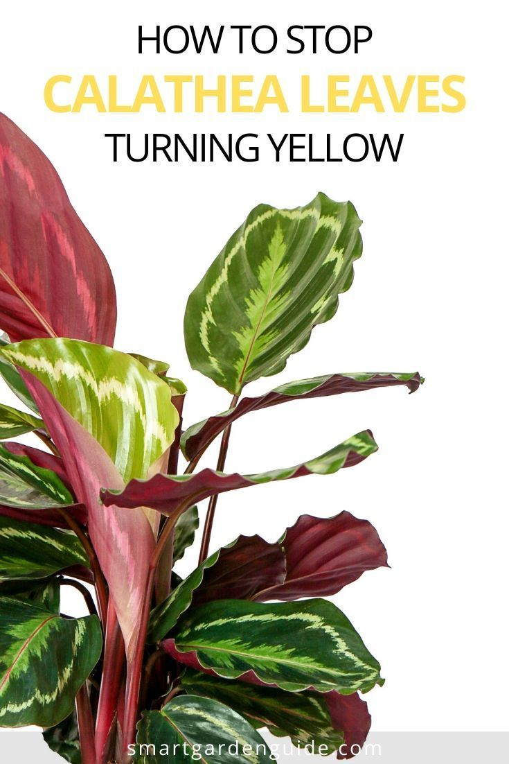Why Are My Calathea Leaves Turning Yellow Smart Garden Guide In 2020 Calathea Plant Plant Care Houseplant Calathea