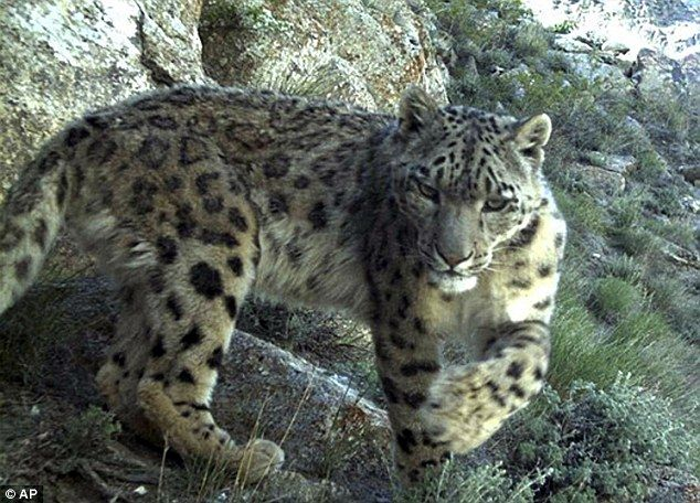 Endangered snow leopards get tagged in Afghanistan - and promptly go on 100-mile hikes