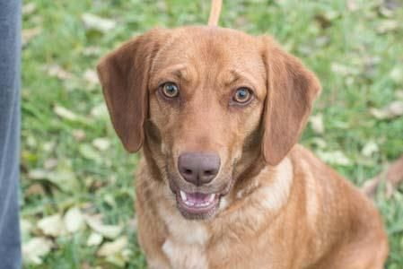 Rosie is an adoptable Beagle searching for a forever family near Kansas City, MO. Use Petfinder to find adoptable pets in your area.